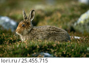 Mountain hare {Lepus timidus} leveret in summer coat, Strathspey, Scotland, UK. Стоковое фото, фотограф Pete Cairns / Nature Picture Library / Фотобанк Лори