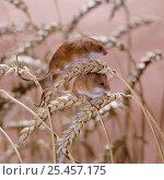 Купить «Harvest mice {Micromys minutus} on wheat. Captive, UK.», фото № 25457175, снято 24 октября 2018 г. (c) Nature Picture Library / Фотобанк Лори