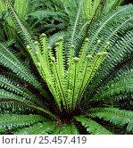 Купить «New Zealand rainforest fern.», фото № 25457419, снято 20 января 2020 г. (c) Nature Picture Library / Фотобанк Лори
