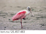 Купить «Roseate spoonbill standing on one leg {Platalea ajaja}  Florida, USA», фото № 25457483, снято 22 марта 2019 г. (c) Nature Picture Library / Фотобанк Лори