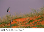 Купить «Pale Chanting Goshawk {Melierax canorus} perching on dead bush, Kgalagadi, Transfrontier Park, South Africa.», фото № 25457527, снято 21 марта 2019 г. (c) Nature Picture Library / Фотобанк Лори