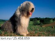 Купить «Old English Sheepdog / Bobtail sitting in field.», фото № 25458059, снято 20 августа 2018 г. (c) Nature Picture Library / Фотобанк Лори