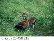Купить «Two Black-billed / West Indian whistling duck {Dendrocygna arborea} Cuba. Captive», фото № 25458215, снято 7 декабря 2019 г. (c) Nature Picture Library / Фотобанк Лори