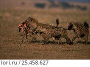Купить «Two Spotted hyaenas {Crocuta crocuta} running with Wildebeest calf carcass Kenya.», фото № 25458627, снято 11 июля 2020 г. (c) Nature Picture Library / Фотобанк Лори