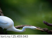 Купить «Great egret / Great white heron {Ardea alba}», фото № 25459043, снято 26 марта 2019 г. (c) Nature Picture Library / Фотобанк Лори