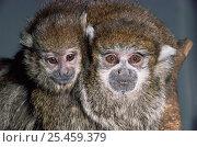 Купить «Dusky titi monkeys {Callicebus moloch} female with young, captive from Amazonia», фото № 25459379, снято 20 ноября 2019 г. (c) Nature Picture Library / Фотобанк Лори
