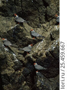 Купить «Inca terns perched on cliff {Larosterna inca} Inkaterna, Peru, South America», фото № 25459667, снято 16 декабря 2018 г. (c) Nature Picture Library / Фотобанк Лори