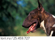Купить «Dark brindle and white English Bull Terrier profile , outdoors», фото № 25459727, снято 15 августа 2018 г. (c) Nature Picture Library / Фотобанк Лори