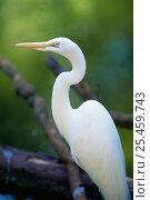 Купить «Great egret / Great white heron {Ardea alba}», фото № 25459743, снято 23 марта 2019 г. (c) Nature Picture Library / Фотобанк Лори