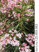 Купить «Oleander {Nerium mascatense} in flower, Sayq Plateau, Jabal al Akhdar, Oman», фото № 25459983, снято 22 июля 2018 г. (c) Nature Picture Library / Фотобанк Лори