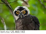Купить «Immature Spectacled Owl {Pulsatrix perspicillata chapmani} portrait, Panama.», фото № 25460143, снято 2 июля 2020 г. (c) Nature Picture Library / Фотобанк Лори