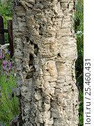 Купить «Close up of bark of Cork Oak tree {Quercus suber}», фото № 25460431, снято 22 сентября 2018 г. (c) Nature Picture Library / Фотобанк Лори