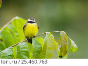 Купить «Rusty margined Flycatcher {Myiozetetes cayanensis harterti} perching on branch, Gamboa Road, Panama.», фото № 25460763, снято 20 марта 2019 г. (c) Nature Picture Library / Фотобанк Лори