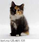Domestic Cat {Felis catus} 9-week non-pedigree longhair tortoiseshell-and-white kitten 'Maisie' Стоковое фото, фотограф Jane Burton / Nature Picture Library / Фотобанк Лори