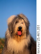 Купить «Old English Sheepdog / Bobtail with hair tied up.», фото № 25461351, снято 15 октября 2018 г. (c) Nature Picture Library / Фотобанк Лори