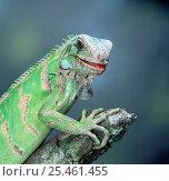 Купить «Common iguana {Iguana iguana} portrait captive», фото № 25461455, снято 3 апреля 2020 г. (c) Nature Picture Library / Фотобанк Лори