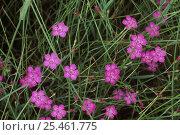 Купить «Wild pinks {Dianthus sp} Daisetsuzan NP, Hokkaido, Japan», фото № 25461775, снято 24 апреля 2018 г. (c) Nature Picture Library / Фотобанк Лори
