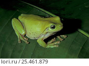 Купить «Green tree frog {Litoria caerulea} on Heliconia, Queensland, Australia», фото № 25461879, снято 20 июля 2019 г. (c) Nature Picture Library / Фотобанк Лори