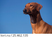 'Fawn-coated' Azawakh hound against sky. Стоковое фото, фотограф Adriano Bacchella / Nature Picture Library / Фотобанк Лори