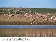 Chilean flamingos flying {Phoenicopterus chilensis} La Pampa, Argentina. Стоковое фото, фотограф Gabriel Rojo / Nature Picture Library / Фотобанк Лори