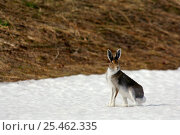 Mountain hare {Lepus timidus} Kronotsky Zapovednik Reserve, Kamchatka, Russia. Редакционное фото, фотограф Igor Shpilenok / Nature Picture Library / Фотобанк Лори