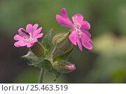 Купить «Red campion in flower {Silene dioica} Belgium», фото № 25463519, снято 25 марта 2019 г. (c) Nature Picture Library / Фотобанк Лори