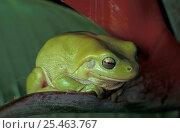 Купить «Green tree frog {Litoria caerulea} on Heliconia, Queensland, Australia», фото № 25463767, снято 6 августа 2020 г. (c) Nature Picture Library / Фотобанк Лори
