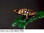 Купить «Poison arrow frog {Dendrobates sylvaticus} Choco forest, Ecuador.», фото № 25463795, снято 20 мая 2019 г. (c) Nature Picture Library / Фотобанк Лори