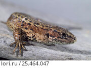 Купить «Viviparous lizard {Lacerta vivipara} captive», фото № 25464047, снято 3 апреля 2020 г. (c) Nature Picture Library / Фотобанк Лори