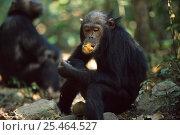 Купить «Male Chimpanzee wodging fruit, Gombe NP, Tanzania, 'Ferdinand' 2002», фото № 25464527, снято 29 января 2020 г. (c) Nature Picture Library / Фотобанк Лори