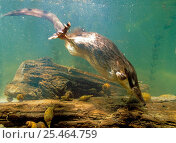 Купить «Desman {Desmana moschata} hunting underwater, Bryansky Les Zapovednik, Russia.», фото № 25464759, снято 5 ноября 2019 г. (c) Nature Picture Library / Фотобанк Лори
