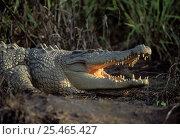 Купить «Saltwater Crocodile {Crocodylus porosus} Northern Territory, Australia», фото № 25465427, снято 15 октября 2019 г. (c) Nature Picture Library / Фотобанк Лори