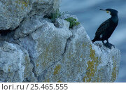 Купить «Cormorant {Phalacrocorax carbo} perched on rock, Gotland, Sweden.», фото № 25465555, снято 16 декабря 2018 г. (c) Nature Picture Library / Фотобанк Лори