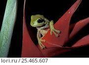 Купить «Green tree frog {Litoria caerulea} on Heliconia, Queensland, Australia», фото № 25465607, снято 6 августа 2020 г. (c) Nature Picture Library / Фотобанк Лори