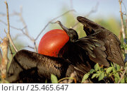 Купить «Male Great frigate bird displaying {Fregata minor} Galapagos», фото № 25465647, снято 22 марта 2019 г. (c) Nature Picture Library / Фотобанк Лори
