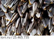Купить «Goose barnacles (Lepas anatifera) found attached to drifting oceanic buoy, Atlantic ocean», фото № 25465735, снято 16 января 2018 г. (c) Nature Picture Library / Фотобанк Лори
