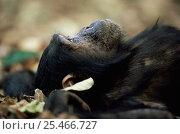 Купить «Eastern common chimpanzee {Pan troglodytes schweinfurtheii} lying on ground, Mahale NP, Tanzania», фото № 25466727, снято 20 января 2020 г. (c) Nature Picture Library / Фотобанк Лори
