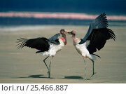 Купить «Two Marabou storks fighting {Leptoptilos crumeniferus} Lake Nakuru, Kenya.», фото № 25466887, снято 7 августа 2020 г. (c) Nature Picture Library / Фотобанк Лори