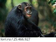 Купить «Eastern common chimpanzee male 'Alouf' {Pan troglodytes schweinfurtheii} Mahale NP, Tanzania.», фото № 25466927, снято 29 января 2020 г. (c) Nature Picture Library / Фотобанк Лори
