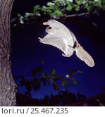 Southern flying squirrel {Glaucomys volans} landing on tree trunk. Captive. Стоковое фото, фотограф Kim Taylor / Nature Picture Library / Фотобанк Лори