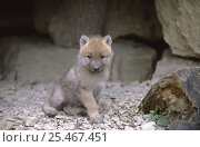Купить «Arctic grey wolf cub (2 months old) {Canis lupus} captive», фото № 25467451, снято 20 февраля 2020 г. (c) Nature Picture Library / Фотобанк Лори