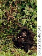 Купить «Mountain Gorilla baby {Gorilla gorilla berengei} Virunga NP. Zaire / Congo», фото № 25467543, снято 24 апреля 2019 г. (c) Nature Picture Library / Фотобанк Лори