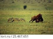 Купить «Spotted hyaena {Crocuta crocuta}carrying carcass in mouth followed by three Black backed jackals {Canis mesomelas}  Masai Mara reserve, Kenya», фото № 25467651, снято 11 июля 2020 г. (c) Nature Picture Library / Фотобанк Лори