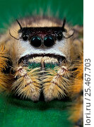 Canopy jumping spider {Phidippus otiosus} Florida, USA. Стоковое фото, фотограф Ingo Arndt / Nature Picture Library / Фотобанк Лори