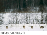 Купить «European grey wolves in winter landscape {Canis lupus} released into wild, Russia.», фото № 25468011, снято 24 марта 2019 г. (c) Nature Picture Library / Фотобанк Лори