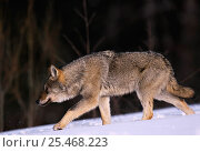 Купить «Grey wolf {Canis lupus} walking in snow, Toropets, Russia.», фото № 25468223, снято 18 февраля 2019 г. (c) Nature Picture Library / Фотобанк Лори
