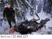 Купить «Moose {Alces alces} killed by hunters, Sweden.», фото № 25468227, снято 16 августа 2018 г. (c) Nature Picture Library / Фотобанк Лори