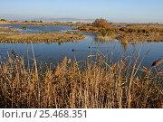 Купить «Waterfowl on the Delta del Llobregat NP in winter. Baix Llobregat, Spain», фото № 25468351, снято 22 июля 2018 г. (c) Nature Picture Library / Фотобанк Лори
