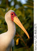 Купить «Portrait of Yellow billed stork {Mycteria ibis} Okavango Delta, Botswana.», фото № 25468671, снято 17 июня 2019 г. (c) Nature Picture Library / Фотобанк Лори