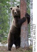 Купить «Brown bear {Ursus arctos} hugging a pine tree. Finland.», фото № 25469027, снято 3 апреля 2020 г. (c) Nature Picture Library / Фотобанк Лори